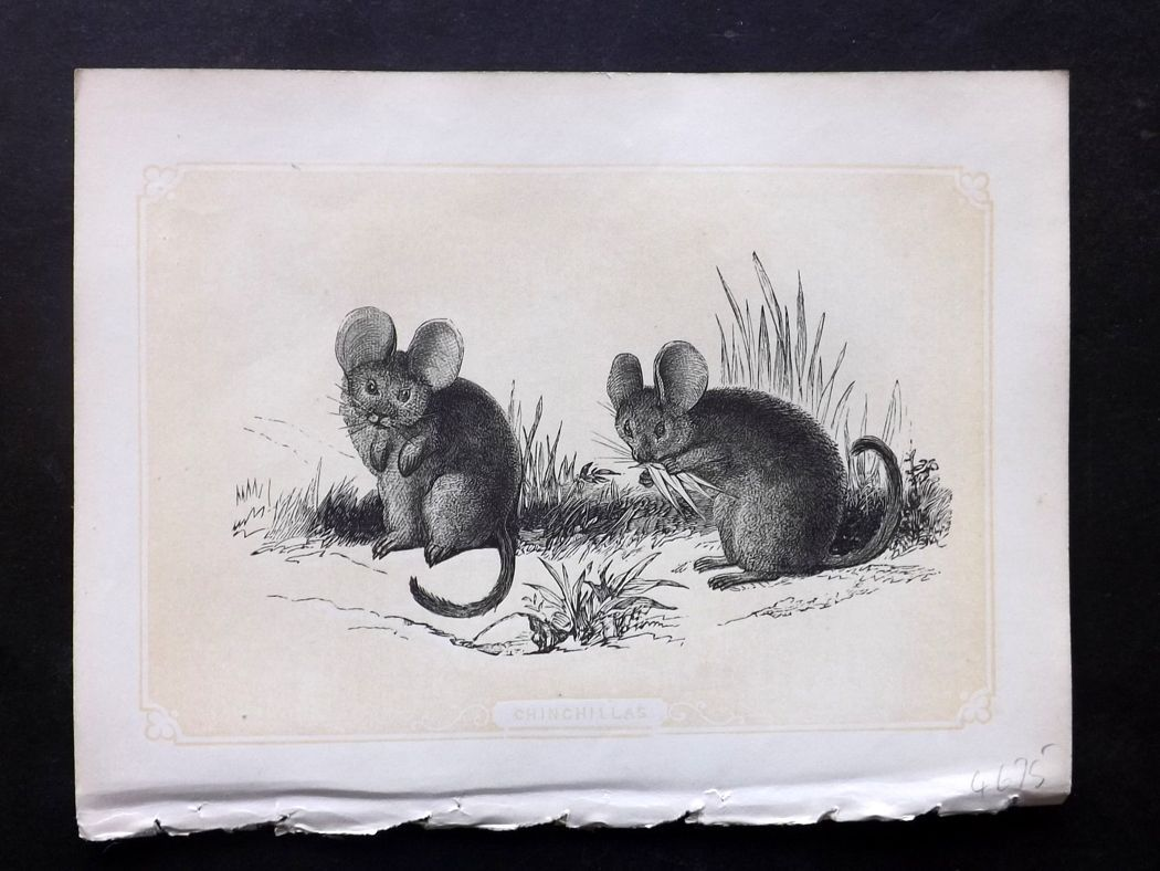 Bicknell 1851 Antique Print. Chinchillas