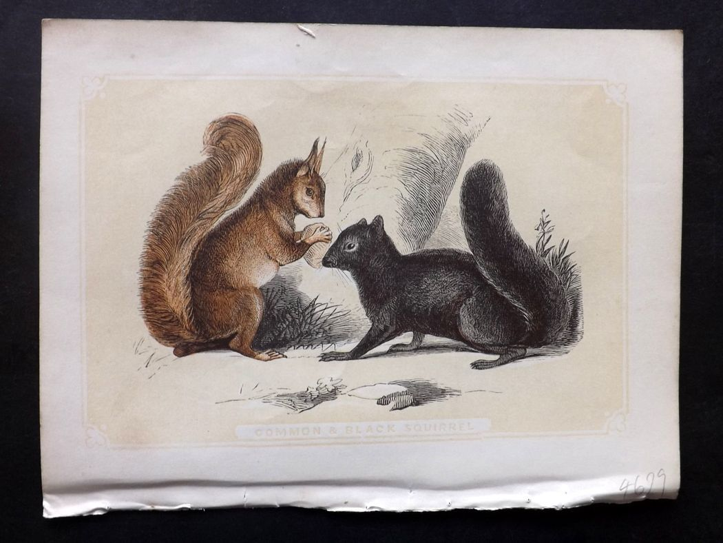 Bicknell 1851 Antique Print. Common & Black Squirrel