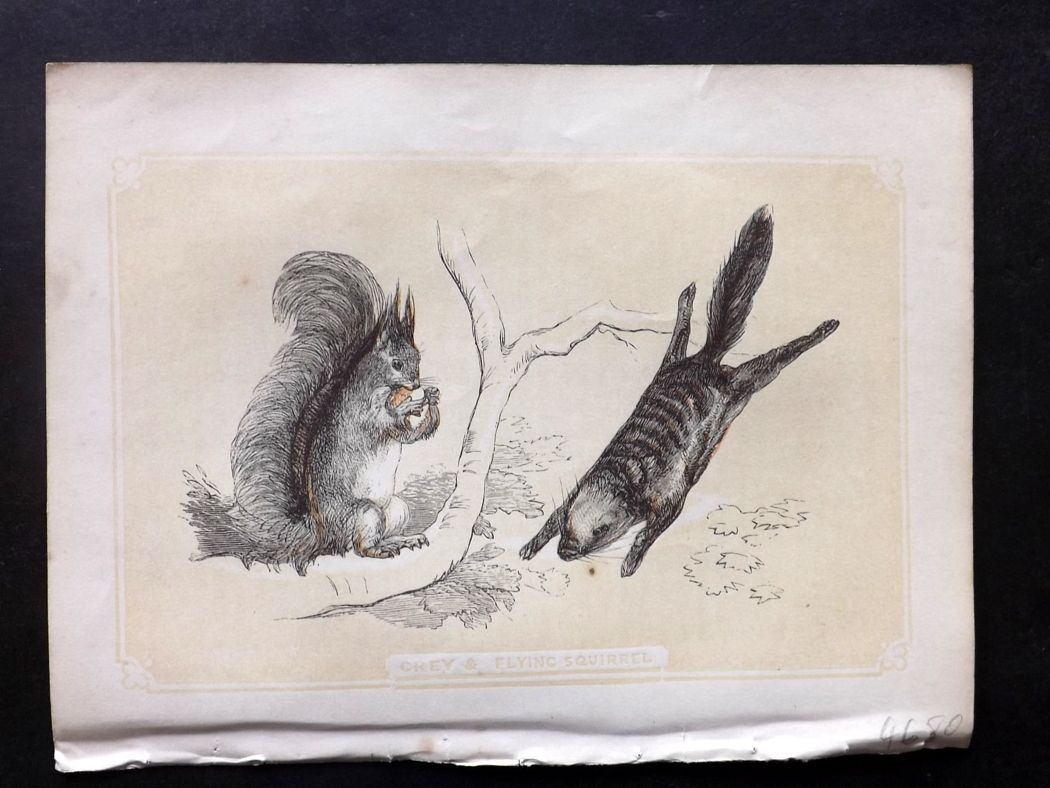 Bicknell 1851 Antique Print. Grey & Flying Squirrel