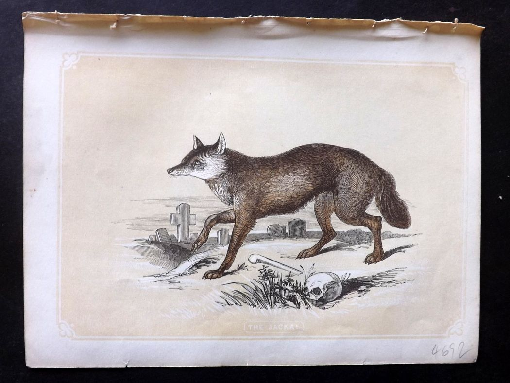 Bicknell 1851 Antique Print. Jackal