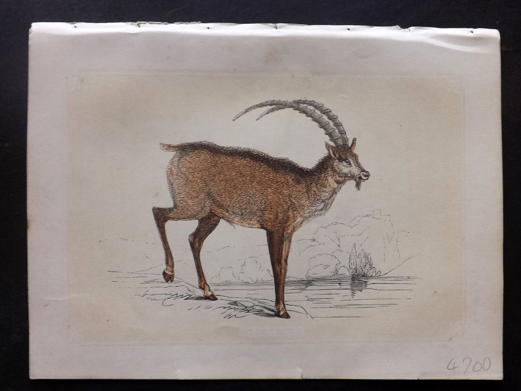 Bicknell 1851 Antique Print. Ibex
