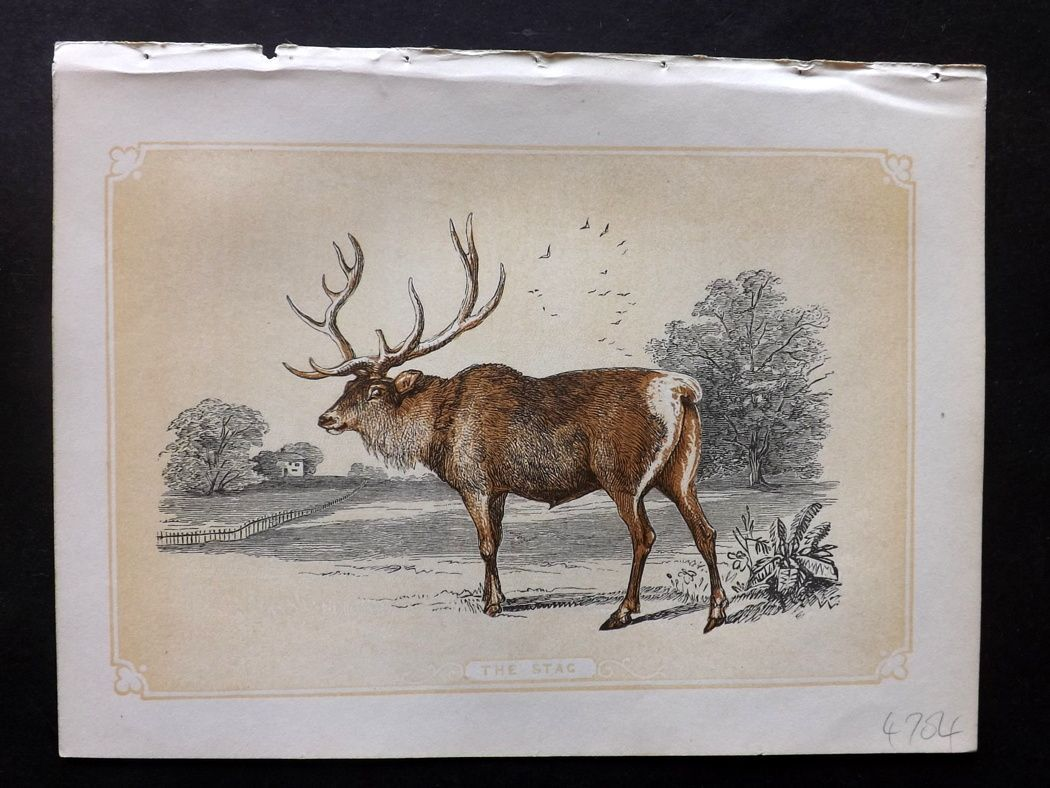 Bicknell 1851 Antique Print. Stag