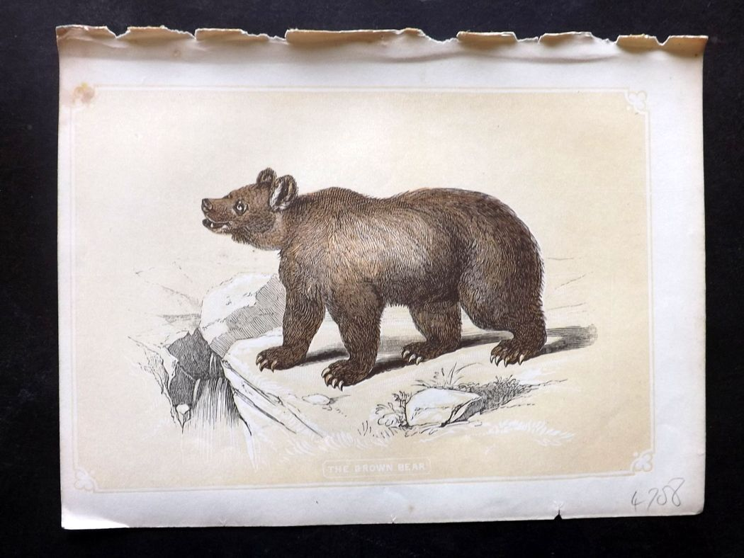 Bicknell 1851 Antique Print. Brown Bear