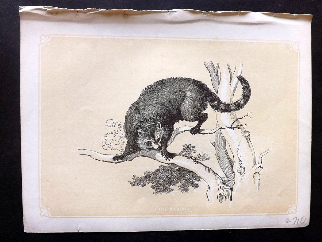 Bicknell 1851 Antique Print. Racoon