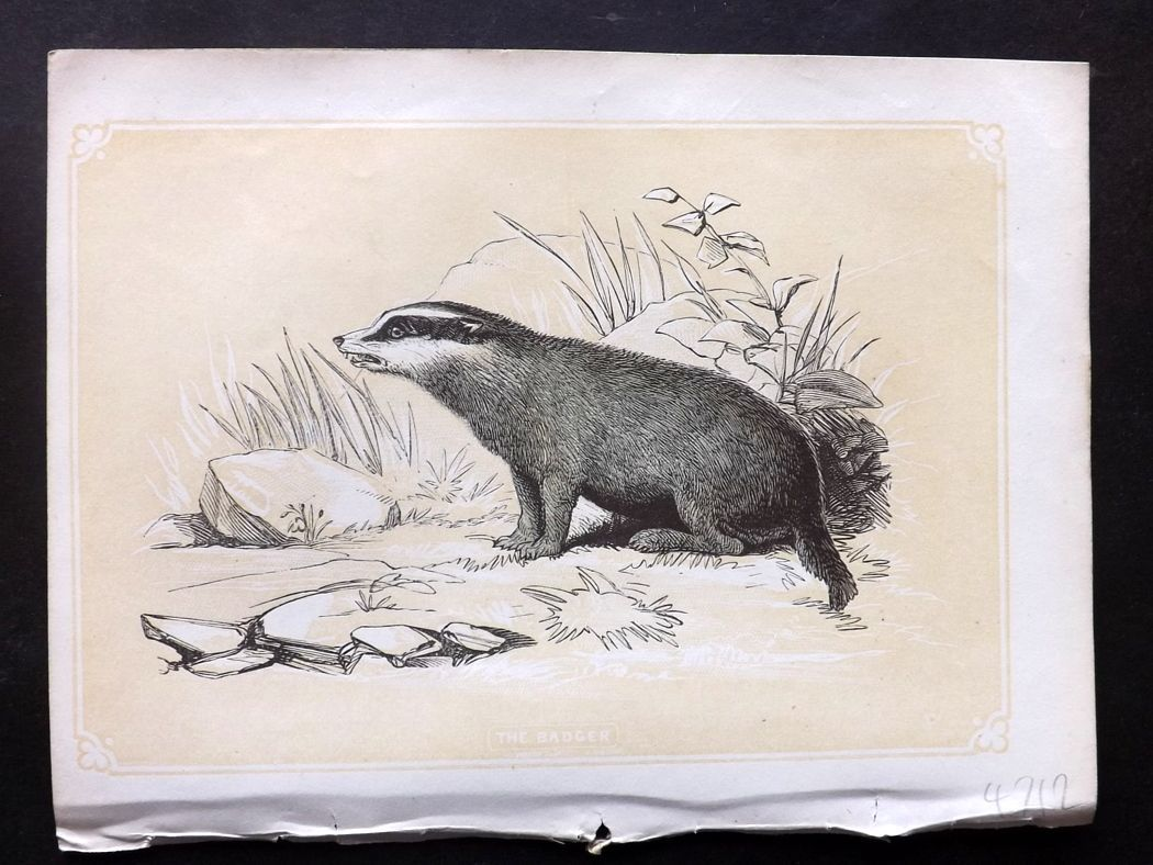 Bicknell 1851 Antique Print. Badger