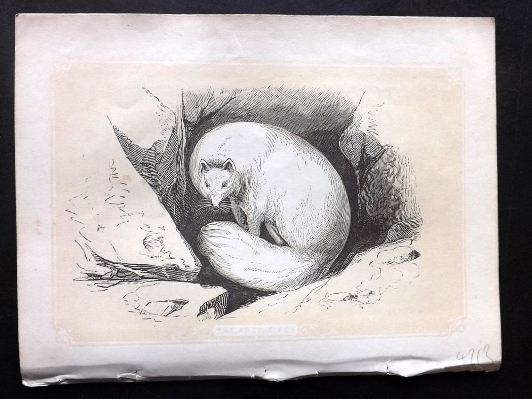 Bicknell 1851 Antique Print. Arctic Fox