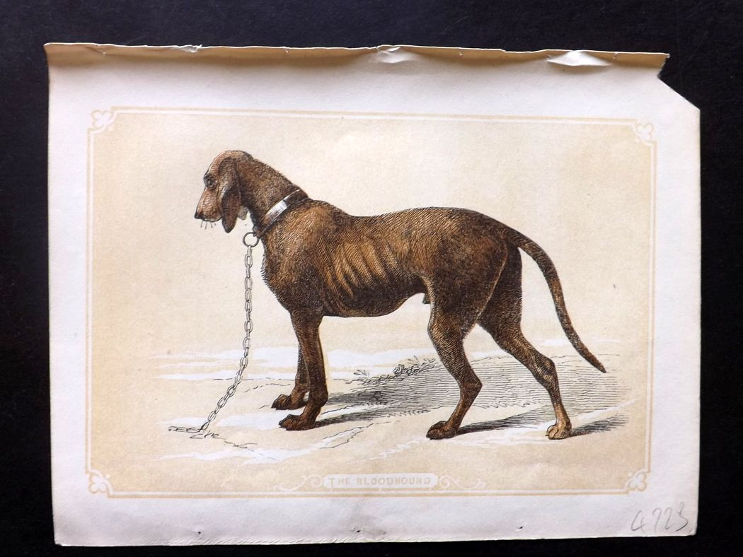 Bicknell 1851 Antique Print. Bloodhound
