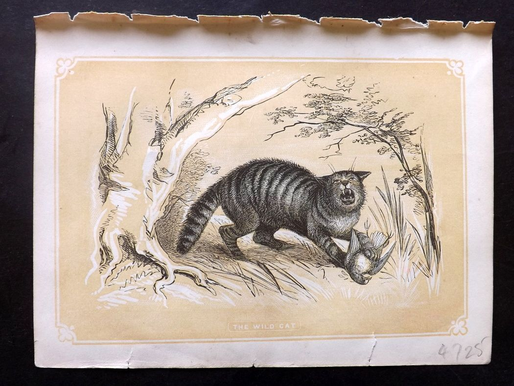 Bicknell 1851 Antique Print. Wild Cat