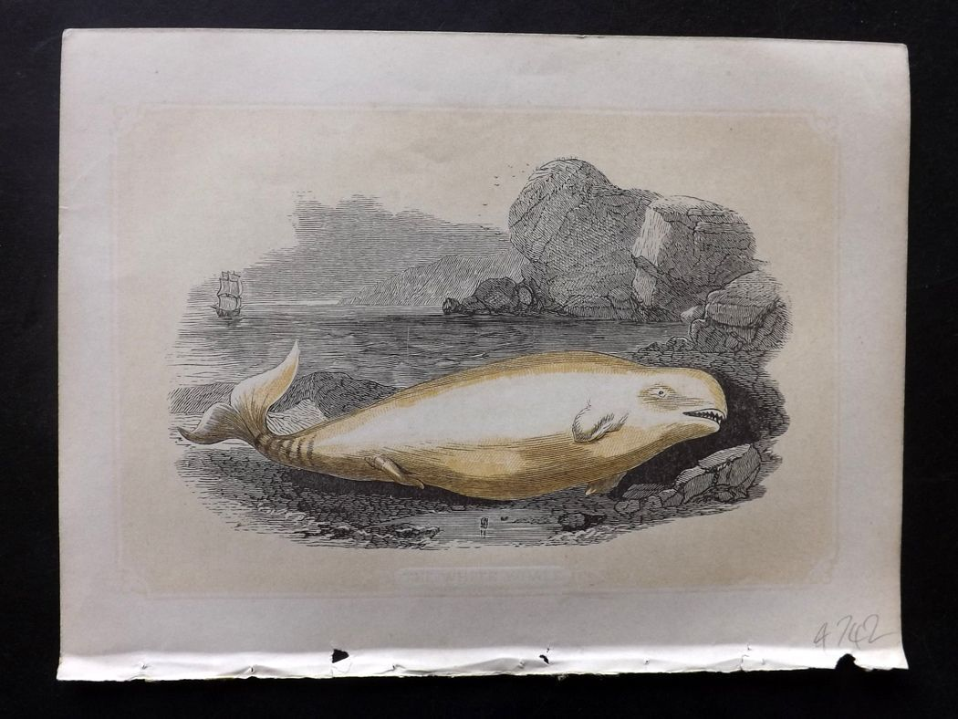 Bicknell 1851 Antique Print. White Whale