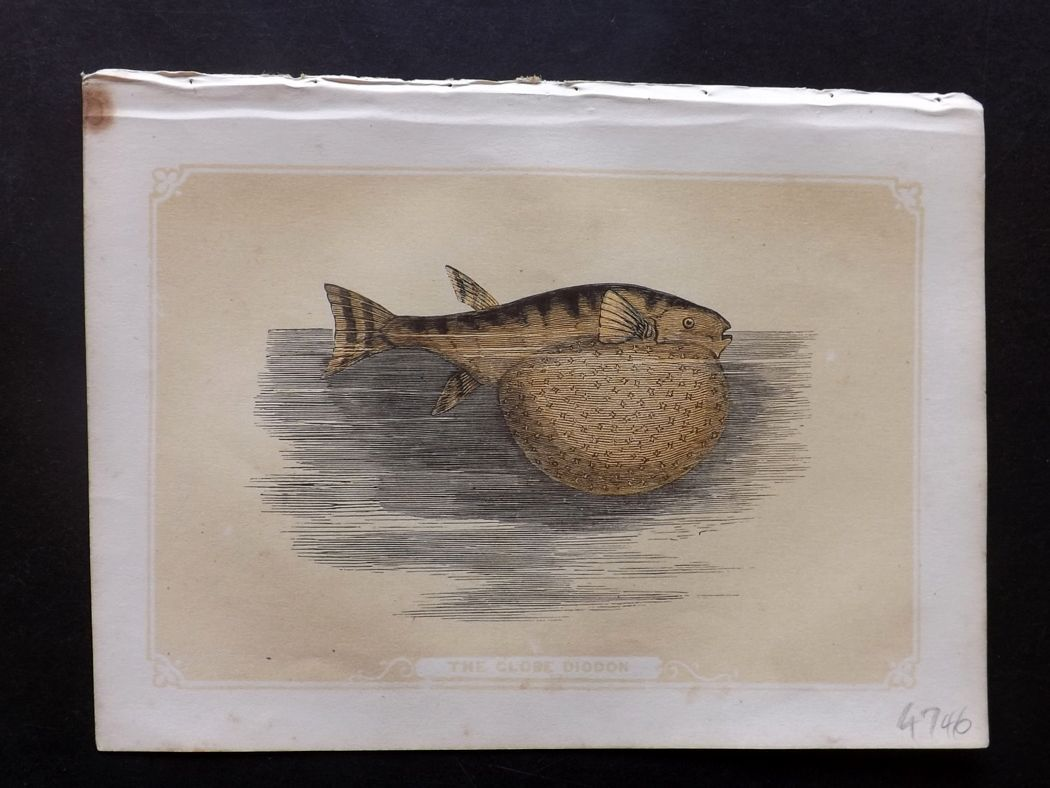 Bicknell 1851 Antique Print. Globe Diodon Fish