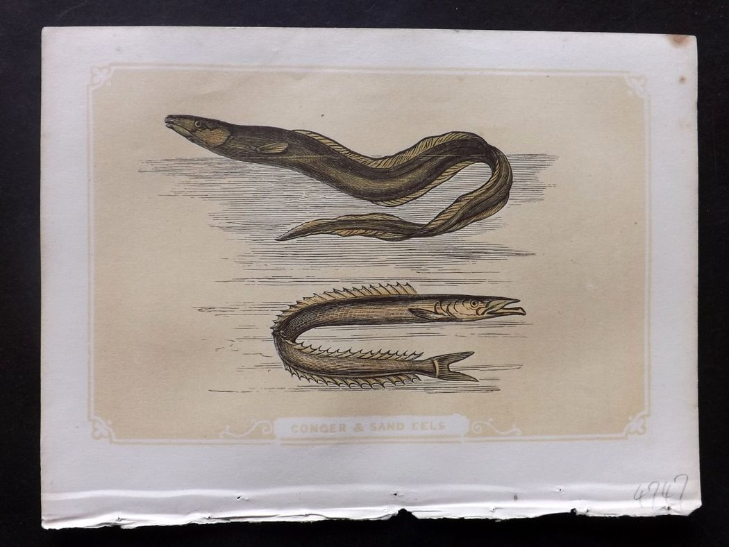 Bicknell 1851 Antique Print. Conger & Sand Eel Fish