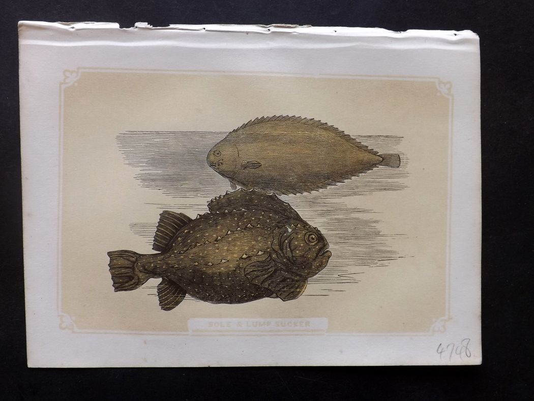 Bicknell 1851 Antique Print. Sole & Lump Sucker Fish