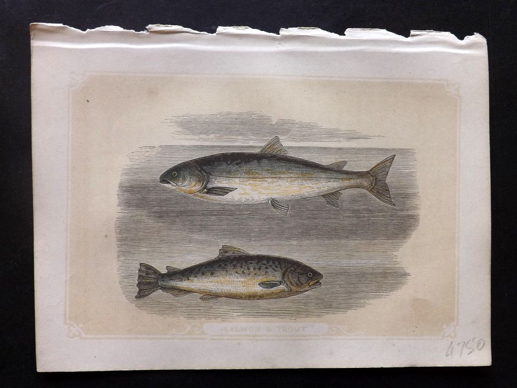 Bicknell 1851 Antique Print. Salmon & Trout Fish