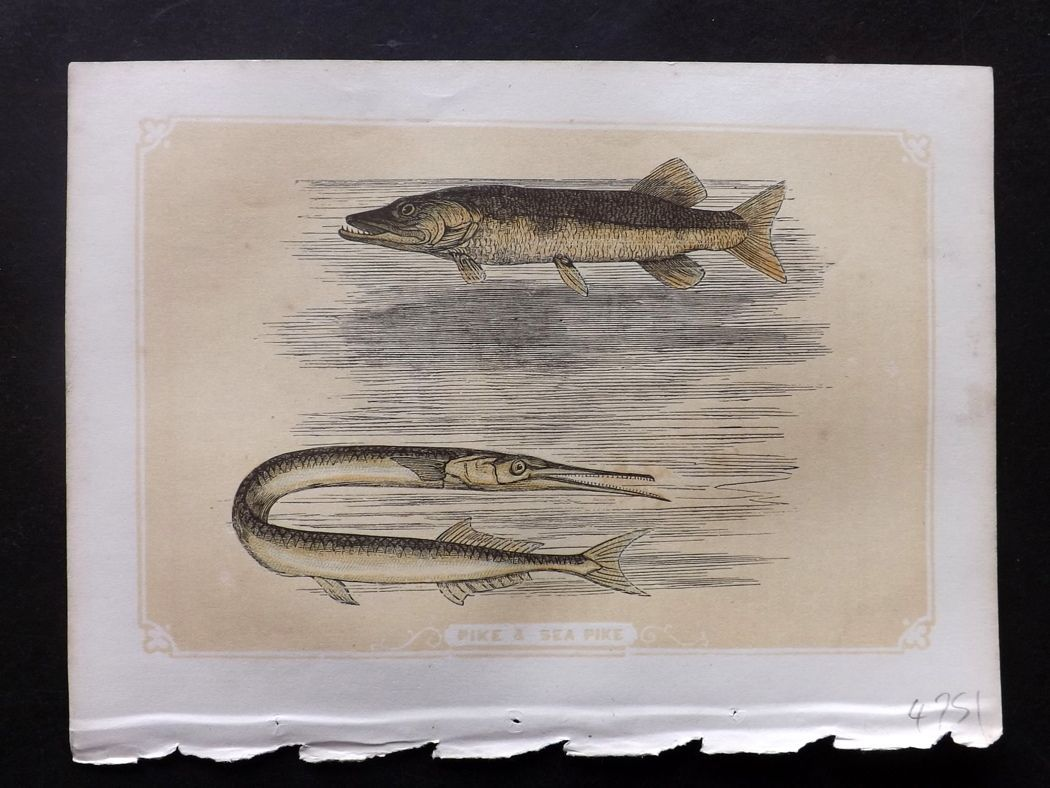 Bicknell 1851 Antique Print. Pike & Sea Pike Fish