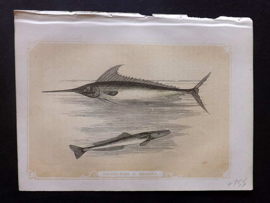 Bicknell 1851 Antique Print. Sword Fish & Remora