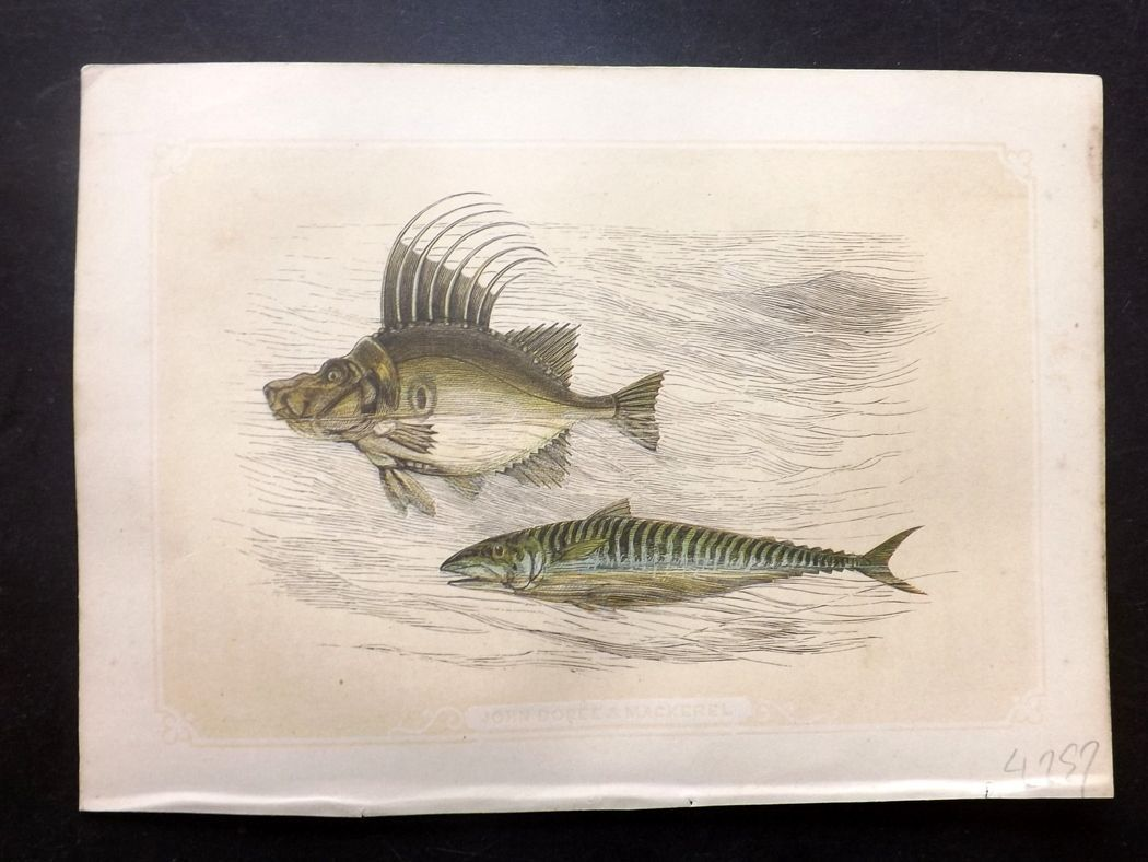 Bicknell 1851 Antique Print. John Dory & Mackerel