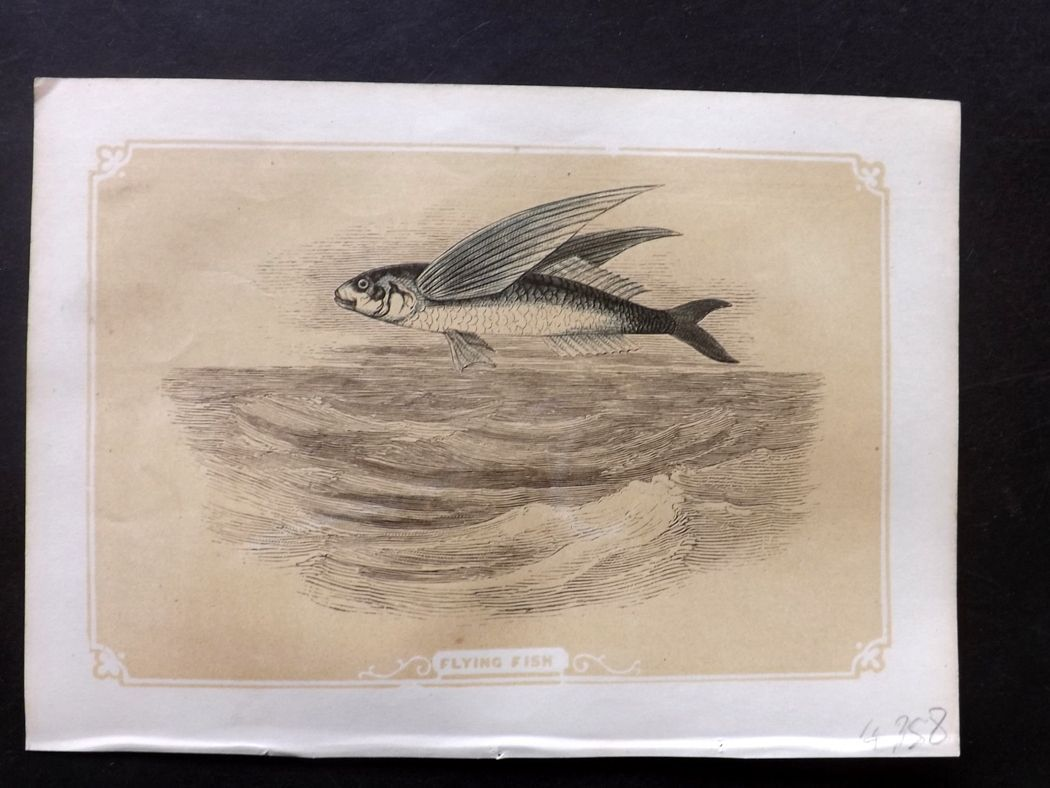Bicknell 1851 Antique Print. Flying Fish