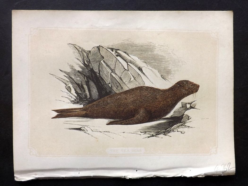 Bicknell 1851 Antique Print. Sea Bear