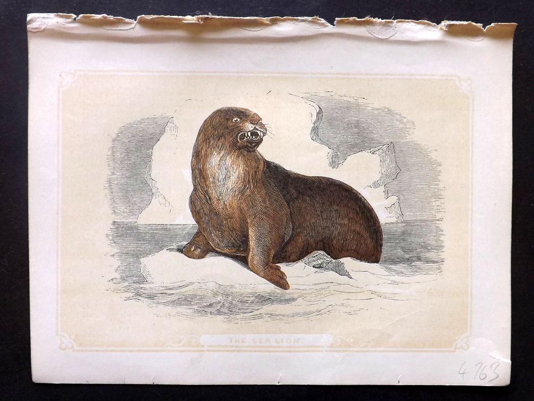 Bicknell 1851 Antique Print. Sea Lion