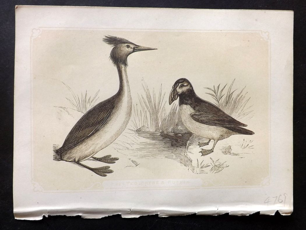 Bicknell 1851 Antique Bird Print. Crested Grebe & Puffin