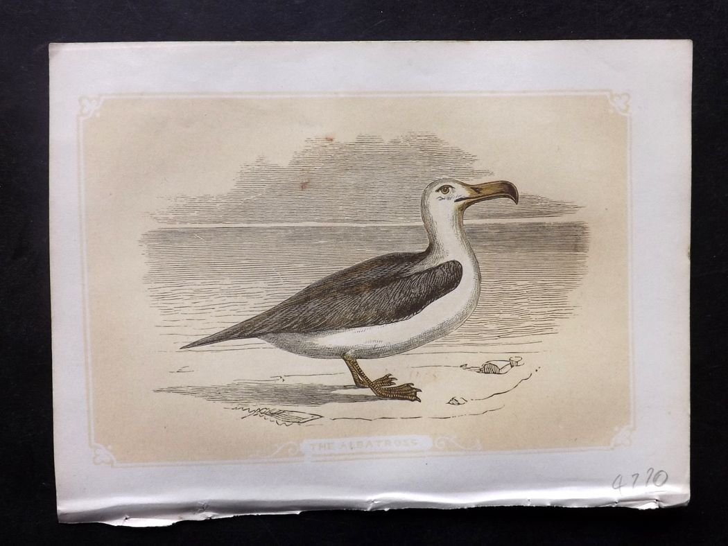 Bicknell 1851 Antique Bird Print. Albatross