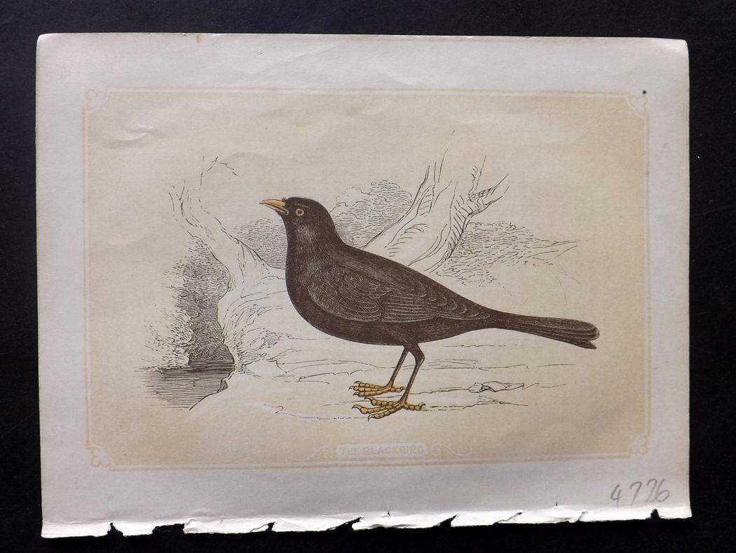 Bicknell 1851 Antique Bird Print. Blackbird