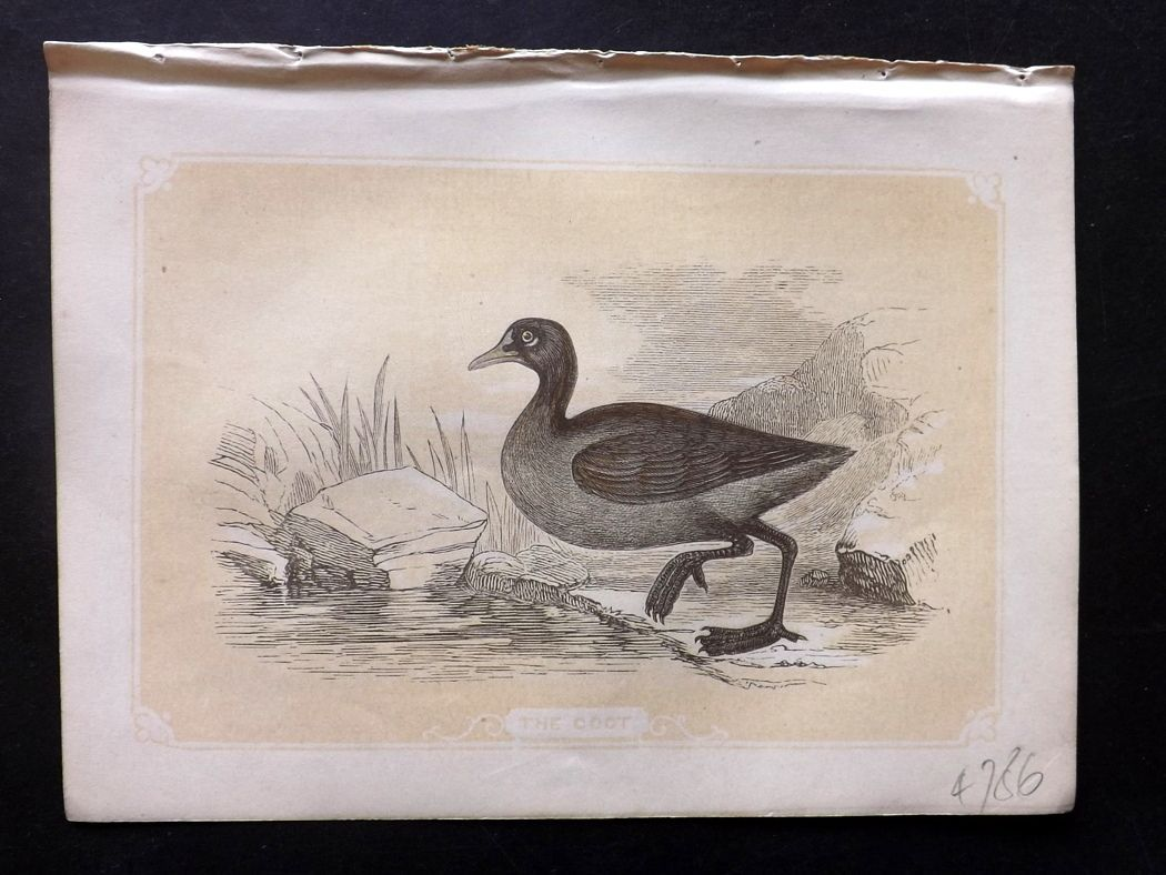 Bicknell 1851 Antique Bird Print. Coot