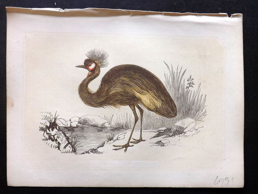 Bicknell 1851 Antique Bird Print. Balbaric Crane