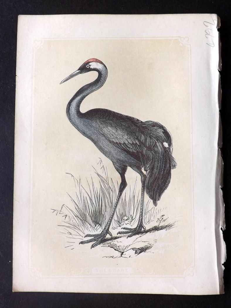 Bicknell 1851 Antique Bird Print. Crane