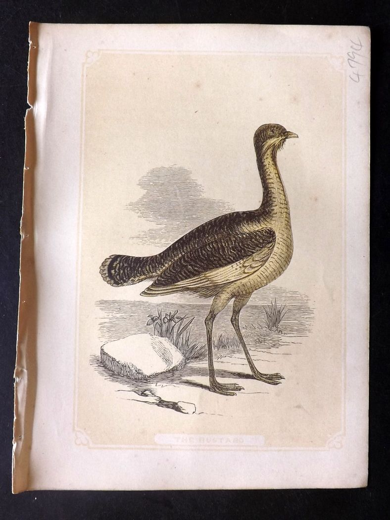 Bicknell 1851 Antique Bird Print. Bustard