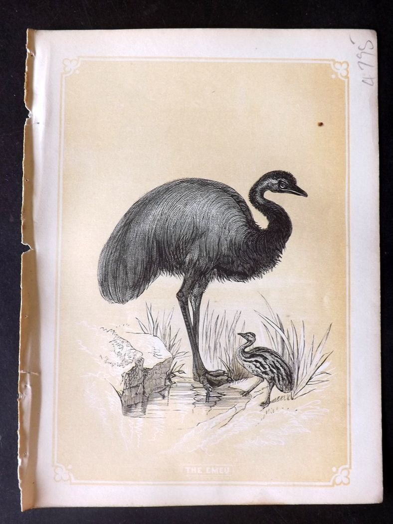 Bicknell 1851 Antique Bird Print. Emu. Australia