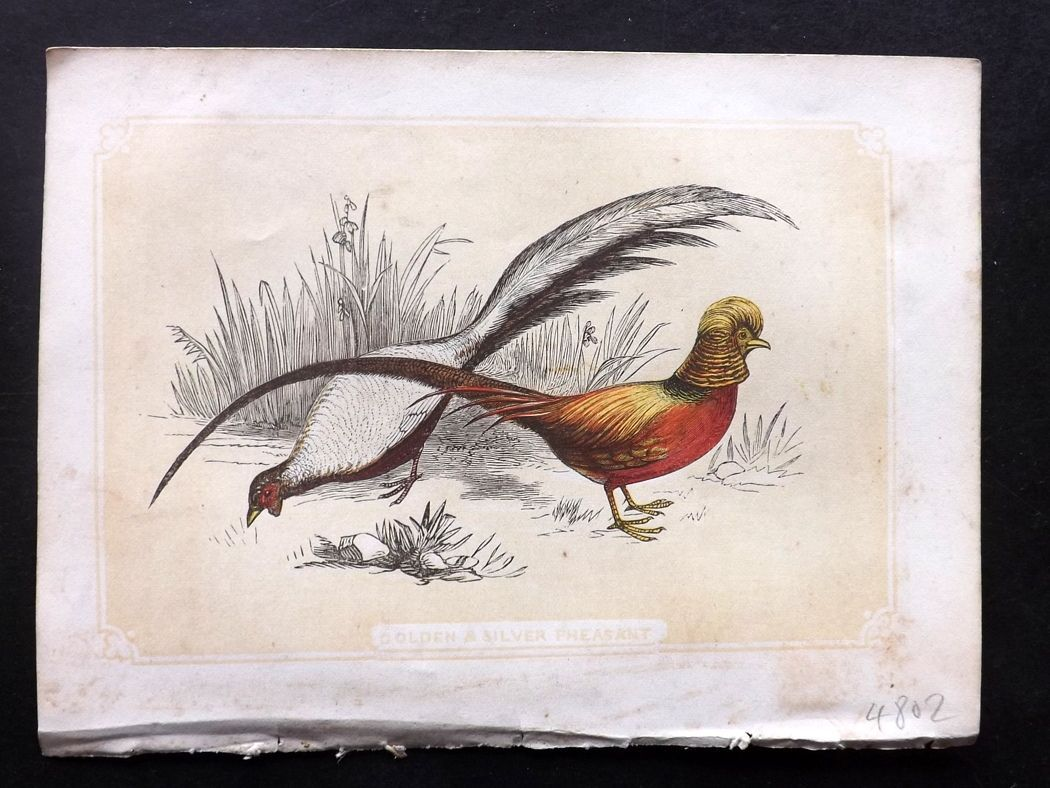 Bicknell 1851 Antique Bird Print. Golden & Silver Pheasants