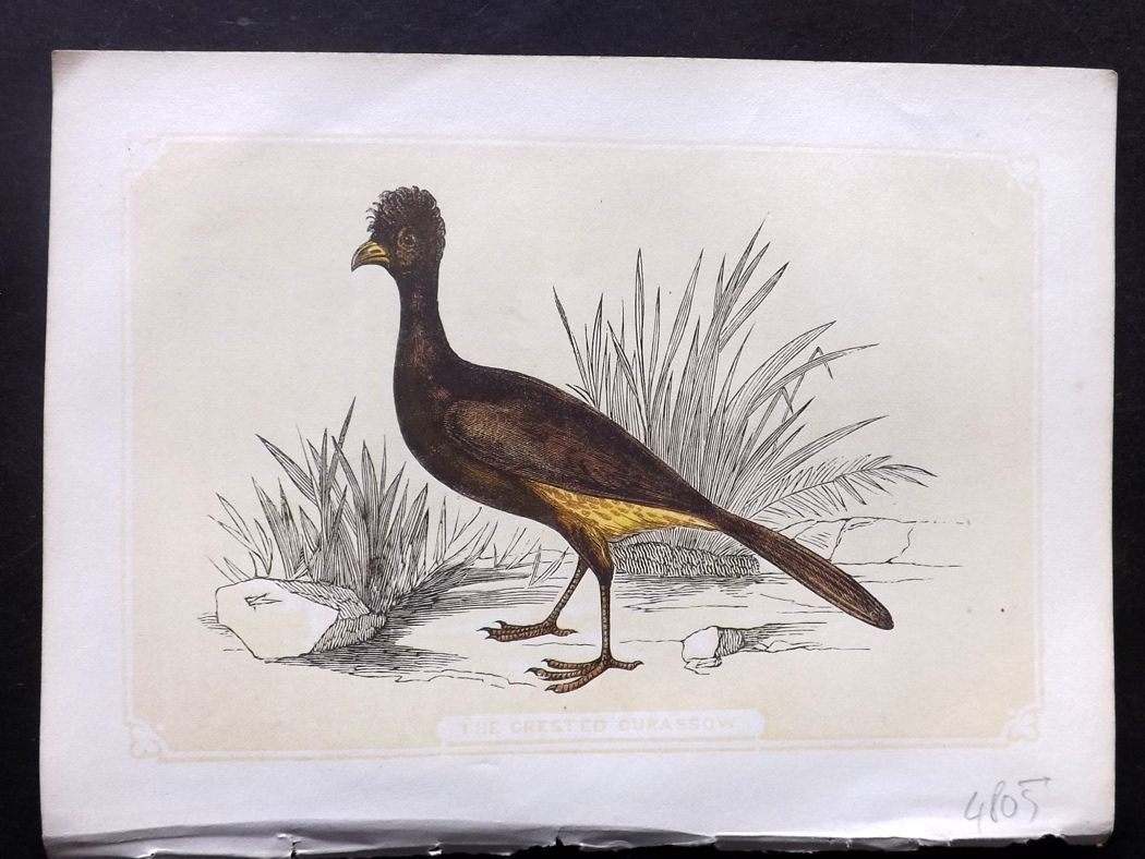 Bicknell 1851 Antique Bird Print. Crested Currasow