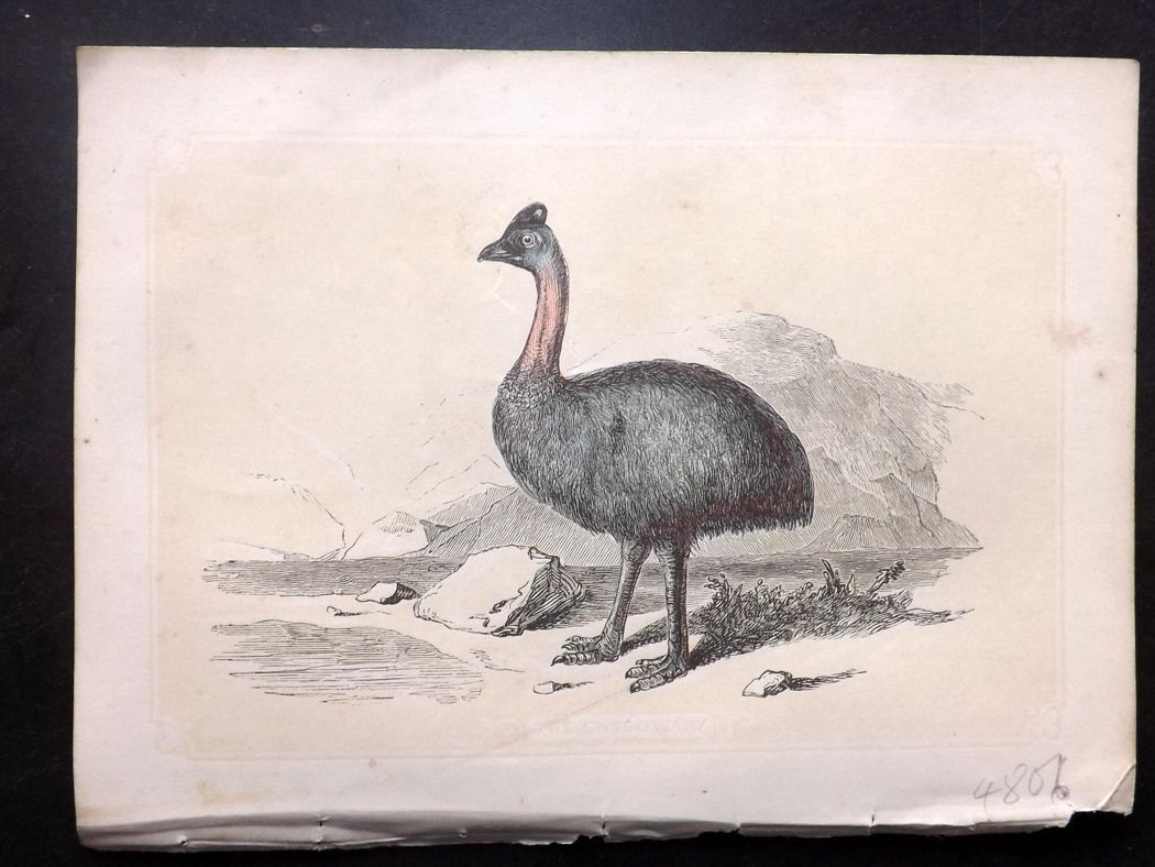 Bicknell 1851 Antique Bird Print. Casowary. Australia Native