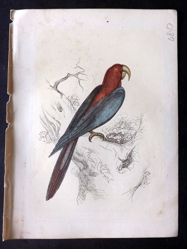 Bicknell 1851 Antique Bird Print. Blue Macaw