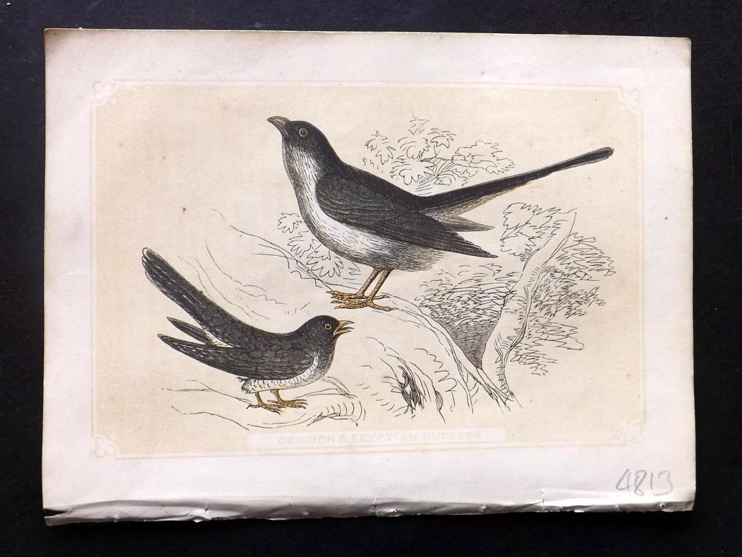 Bicknell 1851 Antique Bird Print. Common & Egyptian Cuckoos