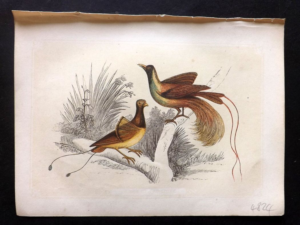Bicknell 1851 Antique Bird Print. Birds of Paradise