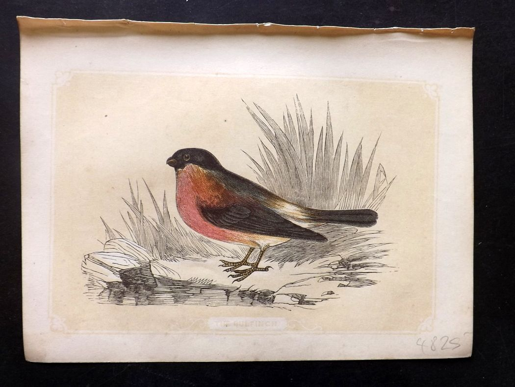 Bicknell 1851 Antique Bird Print. Bullfinch