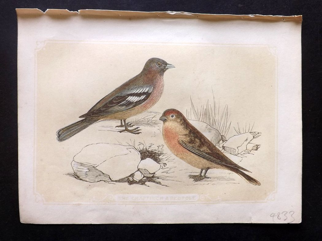 Bicknell 1851 Antique Bird Print. Chaffinch & Redpole