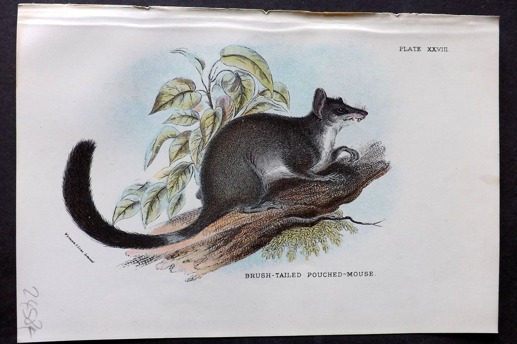 Lloyd - Australia Native 1896 Print. Brush Tailed Pouched Mouse
